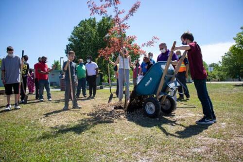Student adding mulch to  tree
